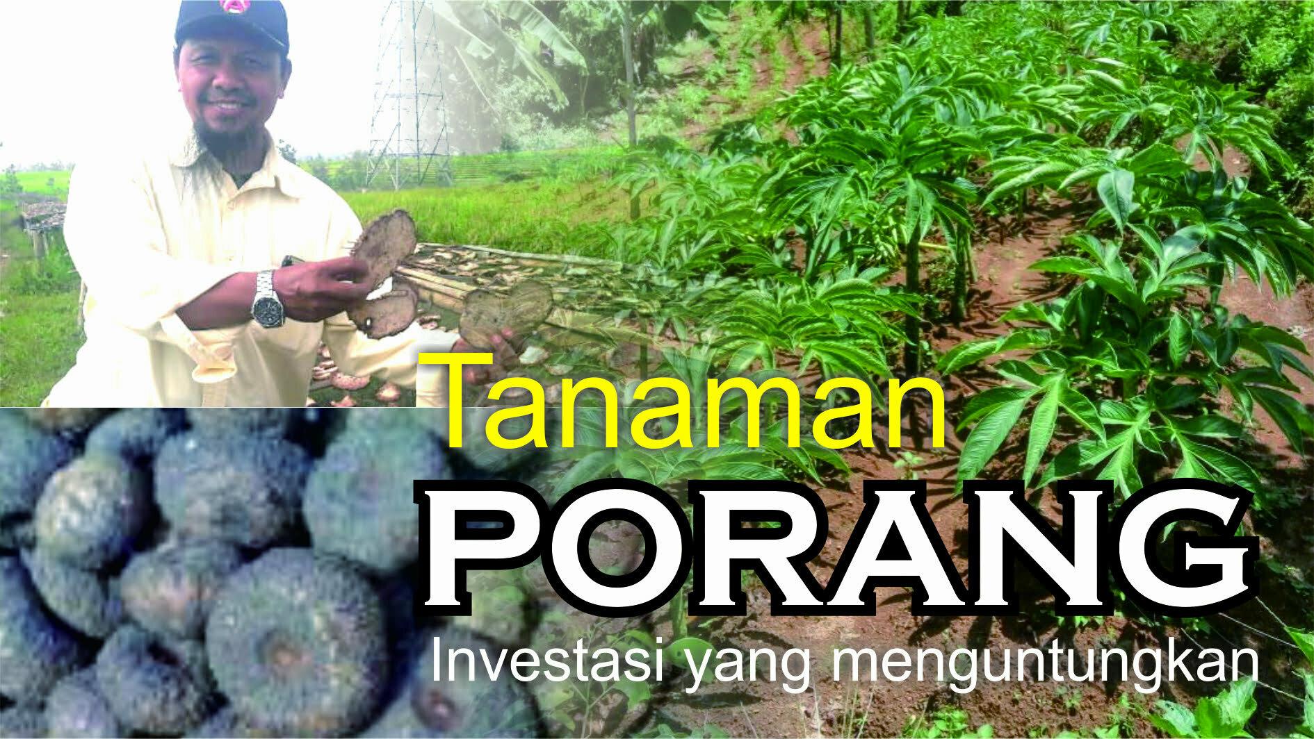 Kembangkan Komoditas, Kaltim Mulai Ekspor Porang | Kalimantan Bisnis.com
